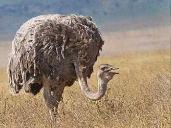 Serengeti-National-Park-ostrich