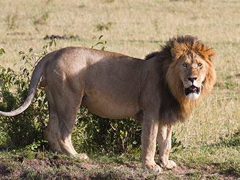 lion-big